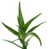 Aloe vera isolata su bianco Fotografie Stock
