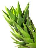 Aloe vera isolata su bianco Immagini Stock