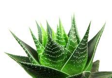 Aloe vera isolata su priorità bassa bianca Fotografia Stock Libera da Diritti