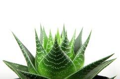 Aloe vera isolata su priorità bassa bianca Immagini Stock