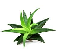 Aloe vera isolata su priorità bassa bianca Immagini Stock Libere da Diritti