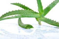 Aloe vera isolata su un bianco Fotografia Stock