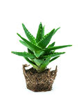 Aloe vera isolated on white background royalty free stock photo