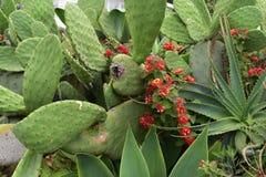 Aloe Vera, Lantana andIndian Fig Cactus Pear trio, 1. royalty free stock images