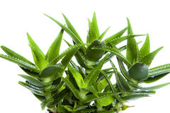 Aloe vera leaves Royalty Free Stock Image