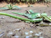 Aloe Vera Leaves Fotografie Stock