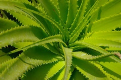 Aloe vera leaves. Royalty Free Stock Images