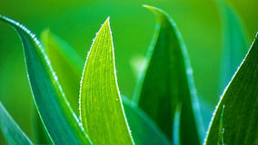 Aloe Vera leaves Stock Image