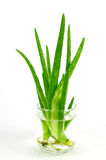 Aloe Vera Leaves Immagine Stock