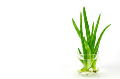 Aloe Vera Leaves Immagini Stock