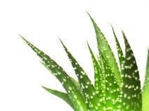 Aloe vera leaves, detailed Royalty Free Stock Photos