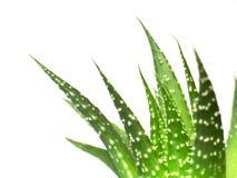Aloe vera leaves, detailed. On white background royalty free stock photos