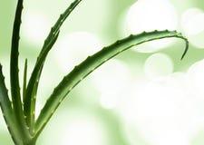 Aloe vera leaves Royalty Free Stock Photo