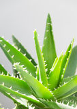 Aloe vera leaves Stock Images
