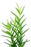 Aloe Vera Leaves Isolated On White Royalty Free Stock Image