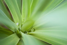 Aloe vera leaves with water drops between Stock Photos