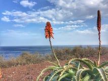 Aloe vera med blomman Royaltyfri Bild