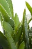 Aloe vera - medicina di erbe Immagini Stock