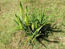 Aloe Vera mit Blumen Stockfotos