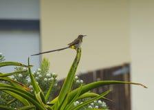 Aloe Vera mit Kap Sugar Bird Lizenzfreies Stockbild