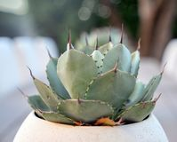 Aloe Vera in modern white plant pot on table Royalty Free Stock Image