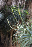 Aloe Vera natural environment Stock Images