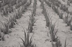Aloe vera nel deserto del Thar Fotografia Stock Libera da Diritti
