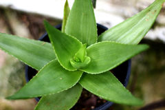 Aloe vera nel vaso Fotografia Stock Libera da Diritti