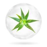 Aloe Vera nella bolla su fondo bianco Ritaglio P Immagini Stock