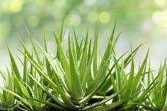 Aloe Vera, nytt blad av aloe Vera i naturlig bakgrund för lantgårdträdgård Arkivbild