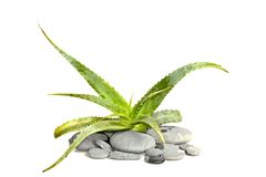Aloe vera with pebblestones Royalty Free Stock Images