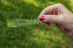 Aloe Vera pflanzen Wunderanlage der Natur lizenzfreie stockbilder