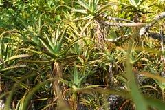 Aloe Vera pflanzt das Umfassen des vollen Rahmens Stockfoto
