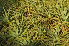 Aloe Vera pflanzt das Umfassen des vollen Rahmens Stockfotografie