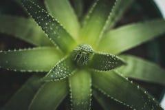 Aloe vera, pianta per cura di pelle ed il cosmetico, macro, vista superiore Immagini Stock