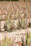 Aloe Vera: piantagione di aloe medicinale vera Fotografia Stock