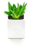 Aloe vera In piccoli vasi bianchi Fotografia Stock