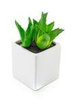 Aloe vera In piccoli vasi bianchi Immagine Stock Libera da Diritti