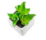 Aloe vera In piccoli vasi bianchi Fotografie Stock