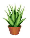 Aloe Vera Plant Stock Photography