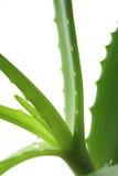 Aloe Vera plant Royalty Free Stock Image