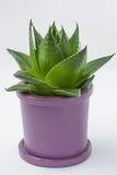 Aloe vera plant. In pot, close up stock photo