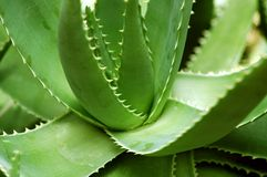 Aloe Vera Plant Royalty Free Stock Photo