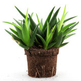 Aloe vera plant Royalty Free Stock Image