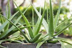 Free Aloe Vera Plant Royalty Free Stock Photography - 57459567
