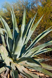 Aloe vera plant. Close up of Aloe vera plant in desert stock photography