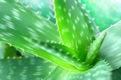 Aloe vera plant. Natural healthy ingredient Stock Images