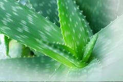 Aloe vera plant. Natural healthy ingredient Stock Photo