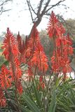 Aloe vera Plant. With orange-red flowers royalty free stock images