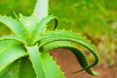 Aloe Vera Plant Royalty Free Stock Photo